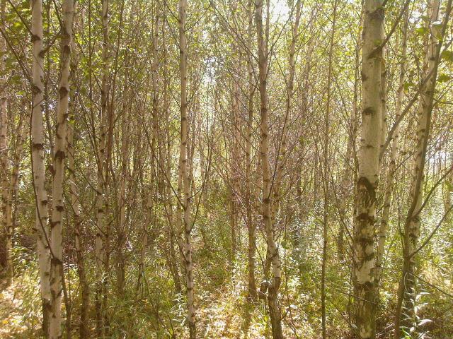 las młodych entów