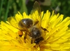 Pscoła pyłkiem silna